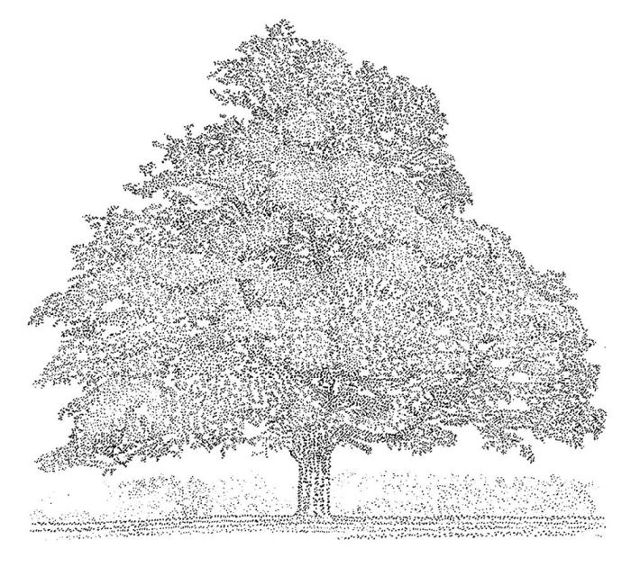 Harker Oak 2012