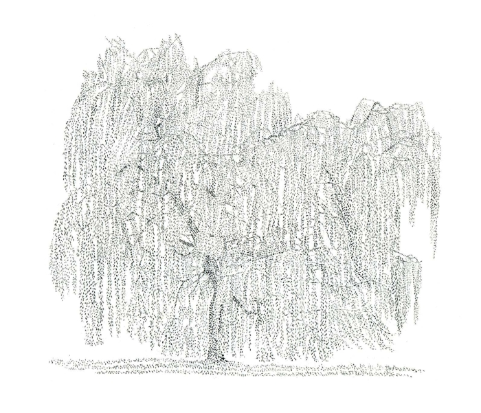 Harker Weeping Willow 2012
