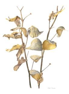 Vanessa Martin, Asclepias speciosa Showy Milkweed watercolor on paper, 26 x 19-1:2