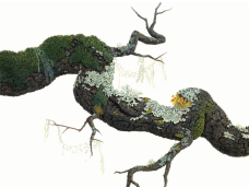 Lucy Martin, Blue Oak Branch with Lichens, Gouache on Paper, 17 x 23