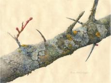 Lin Lufkin, Hawthorn Branch with Lichen (Minnesota Landscape Arboretum, Chaska, Minnesota) Watercolor and gouache on vellum, 8.5 X 11.5