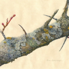Lin Lufkin, Hawthorn Branch with Lichen (Minnesota Landscape Arboretum, Chaska, Minnesota) Watercolor and gouache on vellum, 8.5 X 11.5