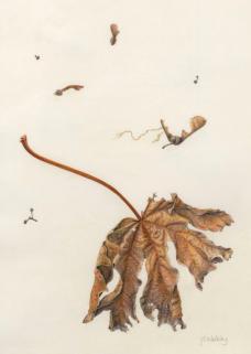 Janene Walkky, Oregon Maple watercolor on vellum, 14x11