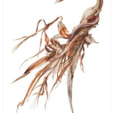 Jessica Tcherepnine, Strelitzia nicola. White Bird of Paradise, Watercolor on Paper