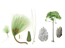 Derek Norman, The Longleaf Pine Revisited and Revered Watercolor, colored pencil and graphite on paper, 21 x 29